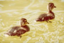 Duckling following another duckling